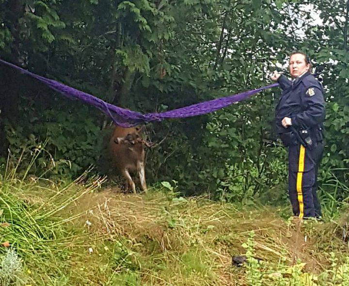 Офицер полиции пытается вытащить оленя из гамака